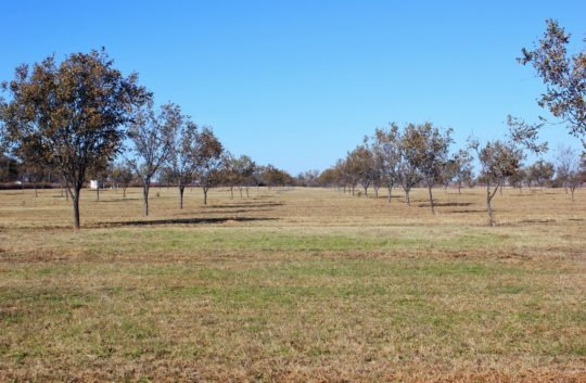 Charlie Pecan Orchard